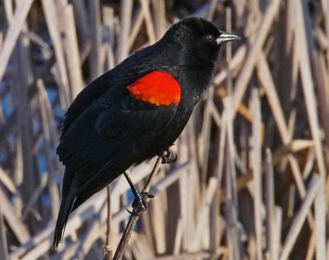 Black Bird With Orange Shoulders 2