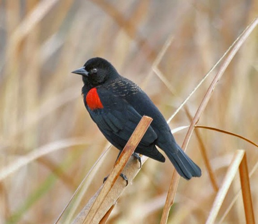 Black Bird With Red Under Wings 5